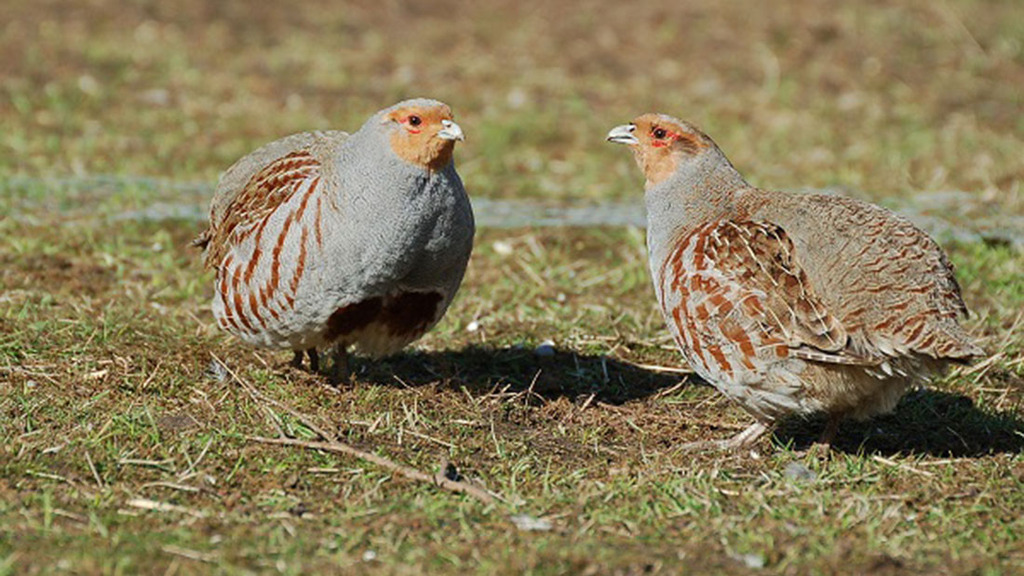 Grey partridge numbers...