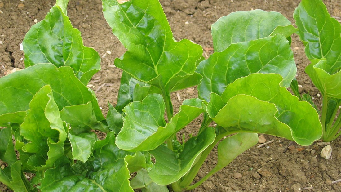 Weather delays put pressure on post-em beet herbicides