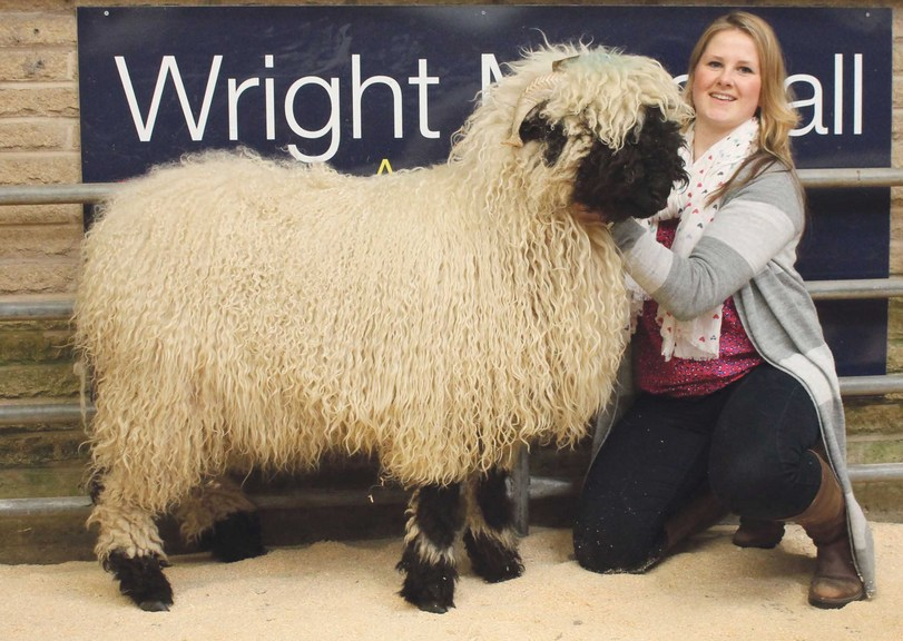 Joint top price at the UK's first Valais sheep sale
