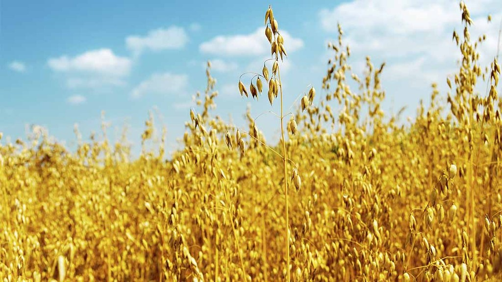 Oats research targets human consumption