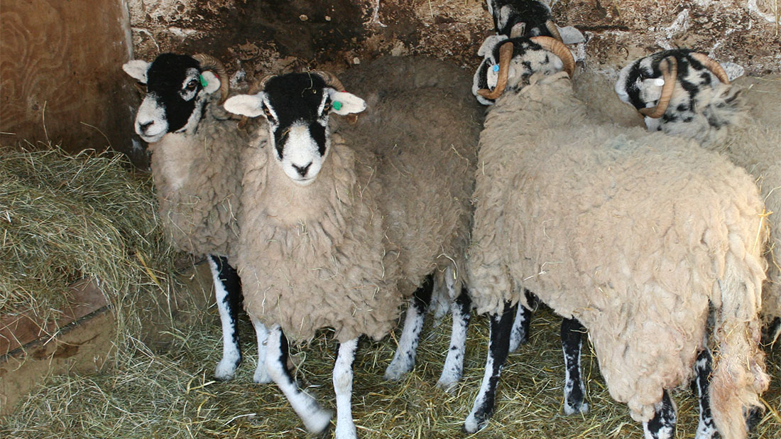 Sheep farmers urged vigilance after pedigree theft