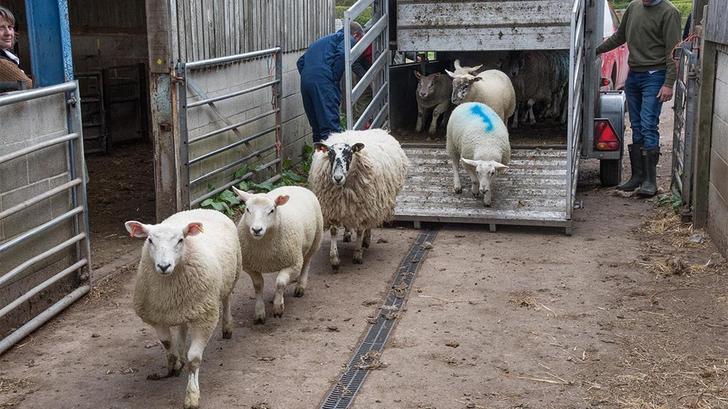 Richard Whittington buys sheep both privately and from livestock markets.