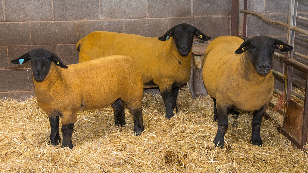 The show team: a ewe lamb by Solywaybank Solario; a gimmer by Solwaybank Thunderbolt; and a ewe by carragh