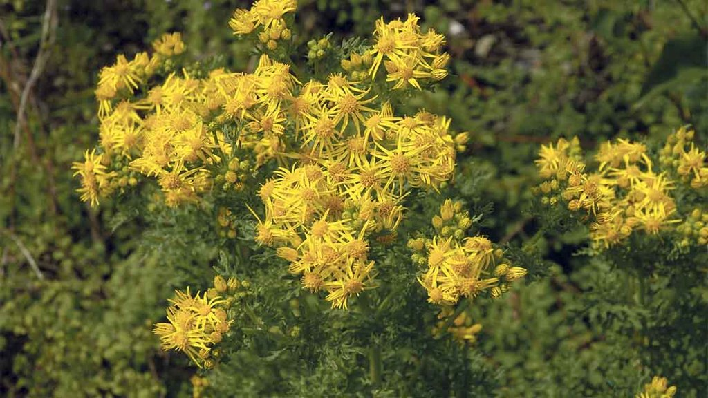 Cause of Secondary: Ragwort