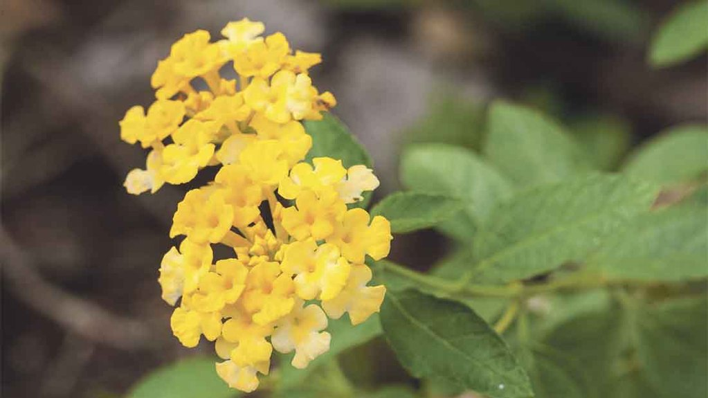Other plants involved included: Lantana
