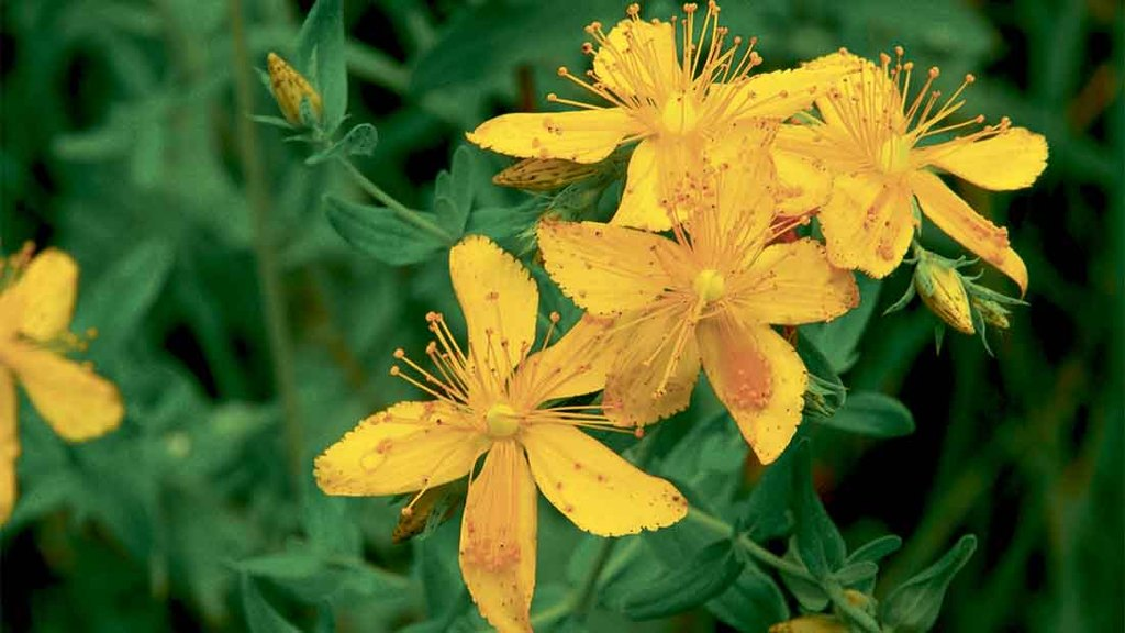 Cause of Primary St John's Wort