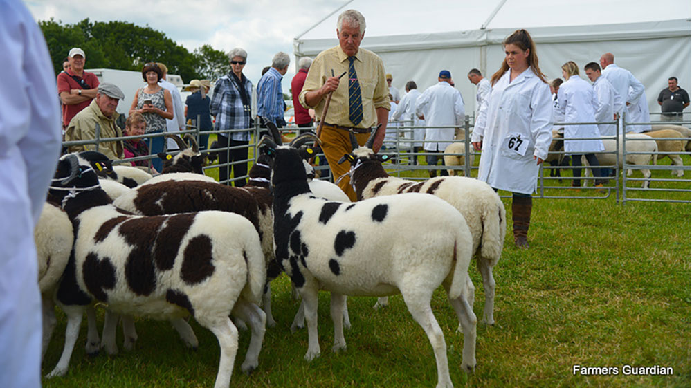 Jacob dominates sheep rings for first time at Cheshire Show