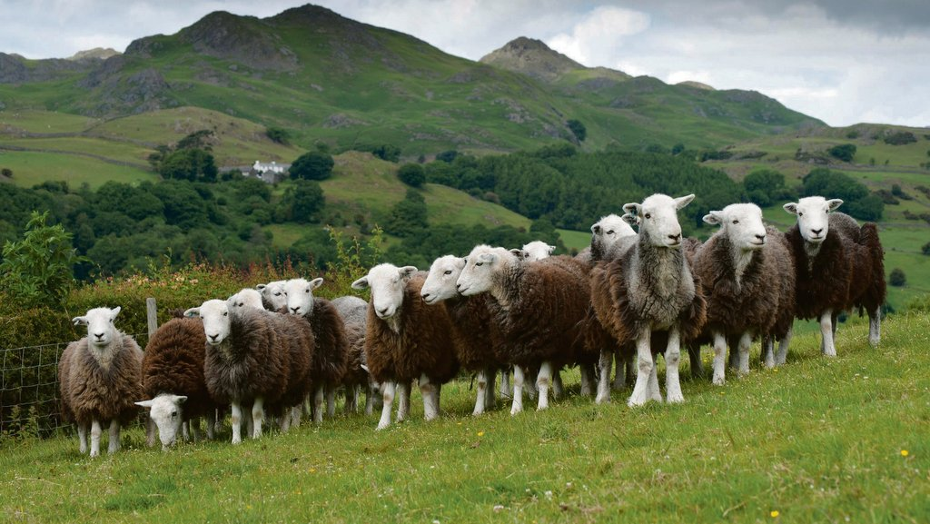 Herdwick Sheep Breeders' Association announces Prince of Wales as patron