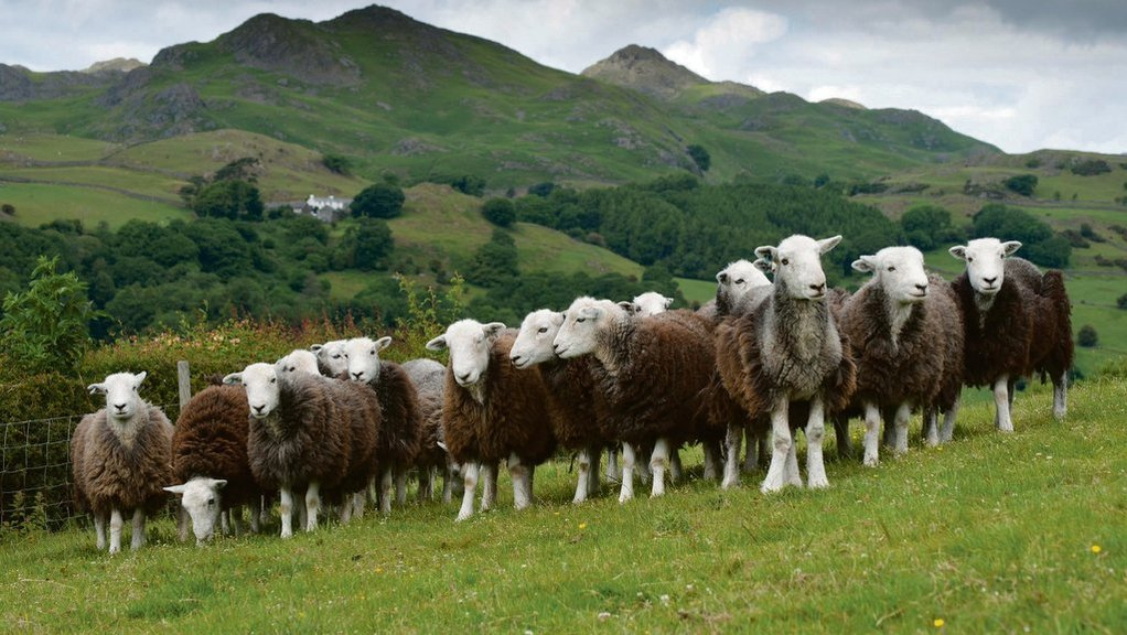 New project to preserve Herdwick sheep gene pool