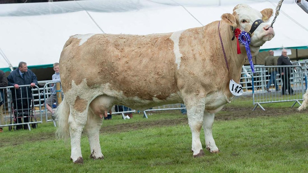 Champion of champions was William Young, Kilmarnock, with the cow Simmental Skerrington Rhona 32.