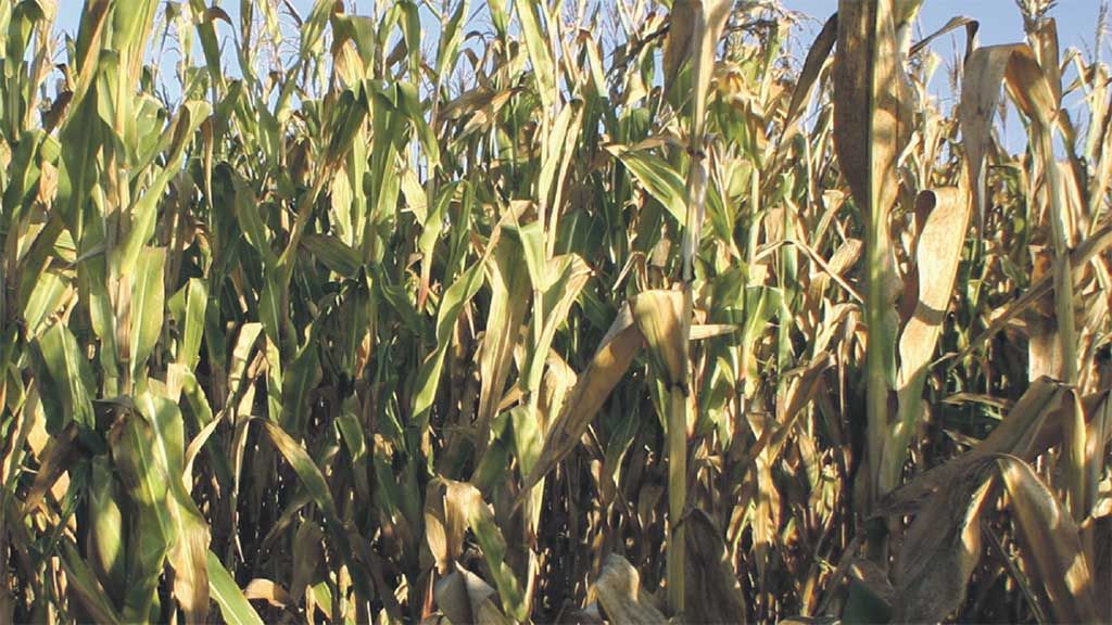 Maize Matters 2015: Starter fertilisers can help give crop a boost