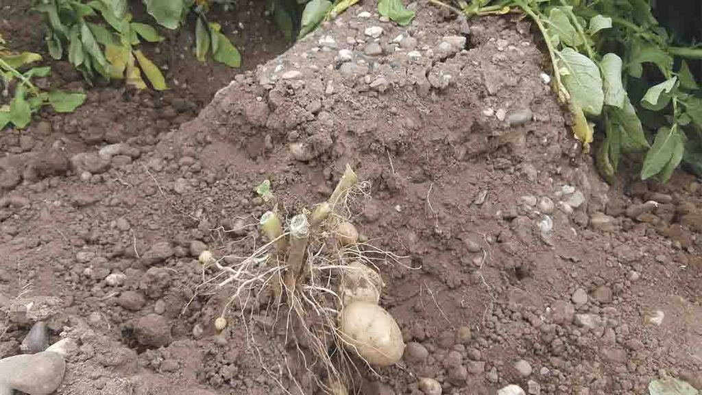 Three year project looking into ways to reduce greening in potatoes