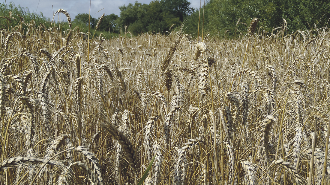 High specific weights could cut UK milling wheat imports