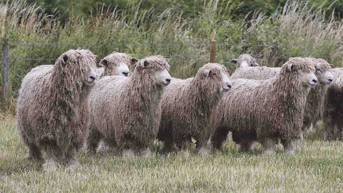 The Lincoln Longwool