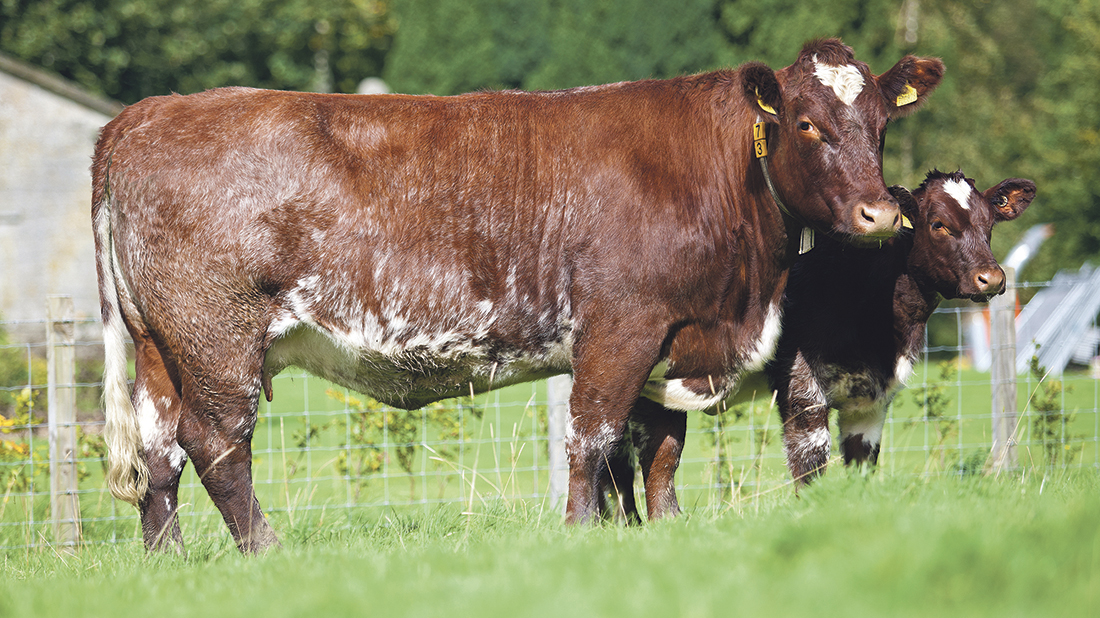 Beef Shorthorn launches type classification scheme