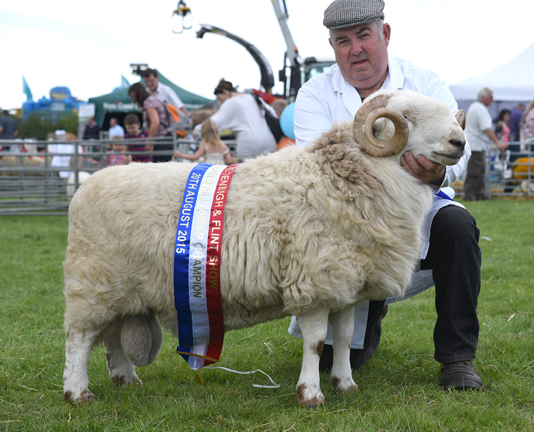 Hill inter-breed sheep