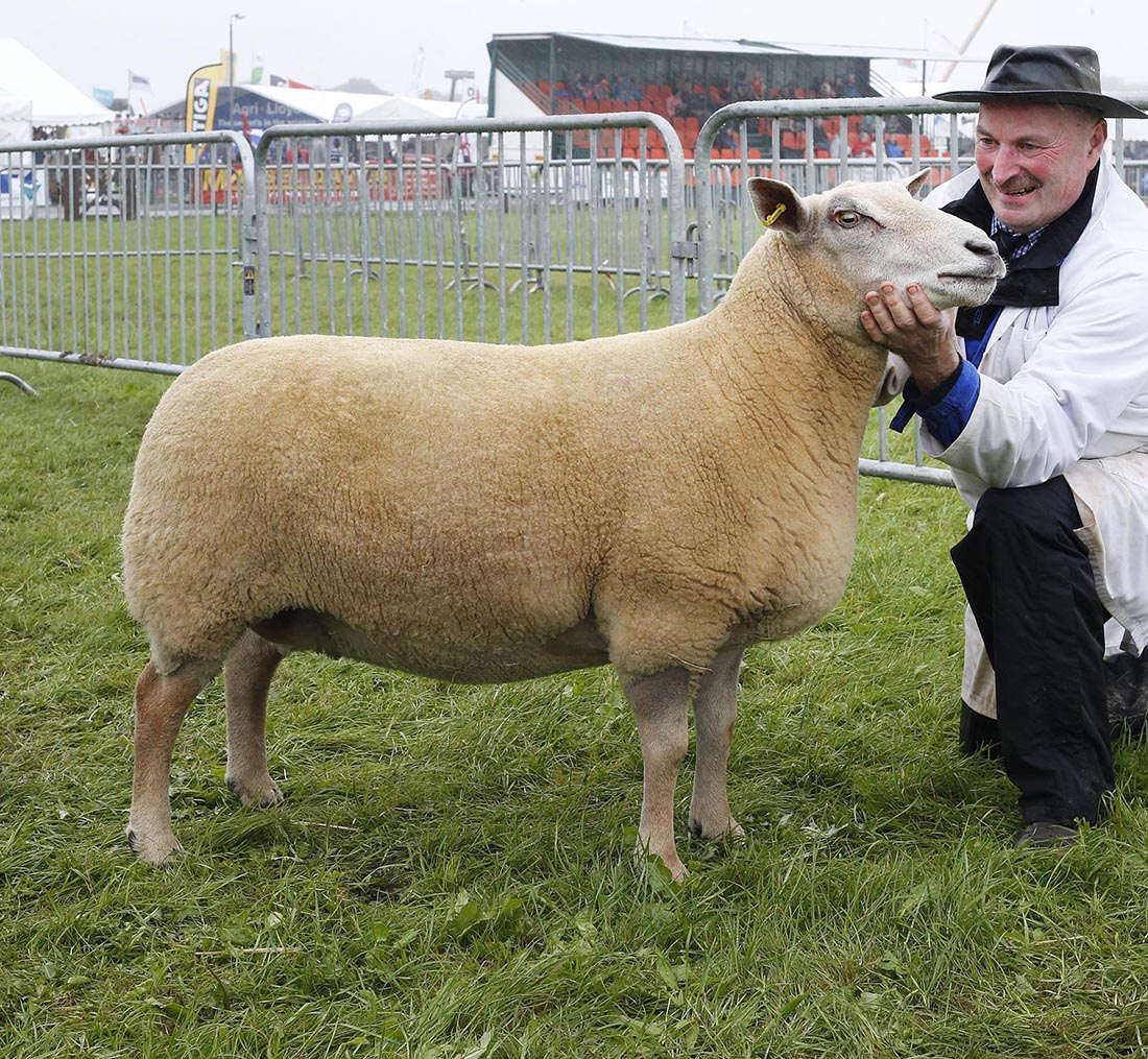 Reserve inter-breed, Charollais