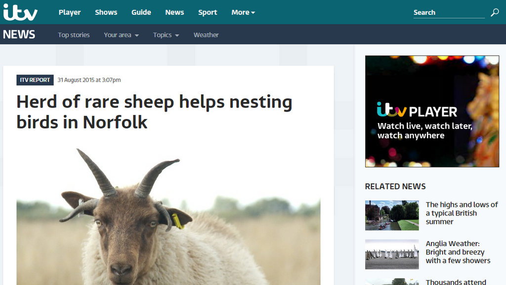 Herd of rare sheep helps nesting birds in Norfolk