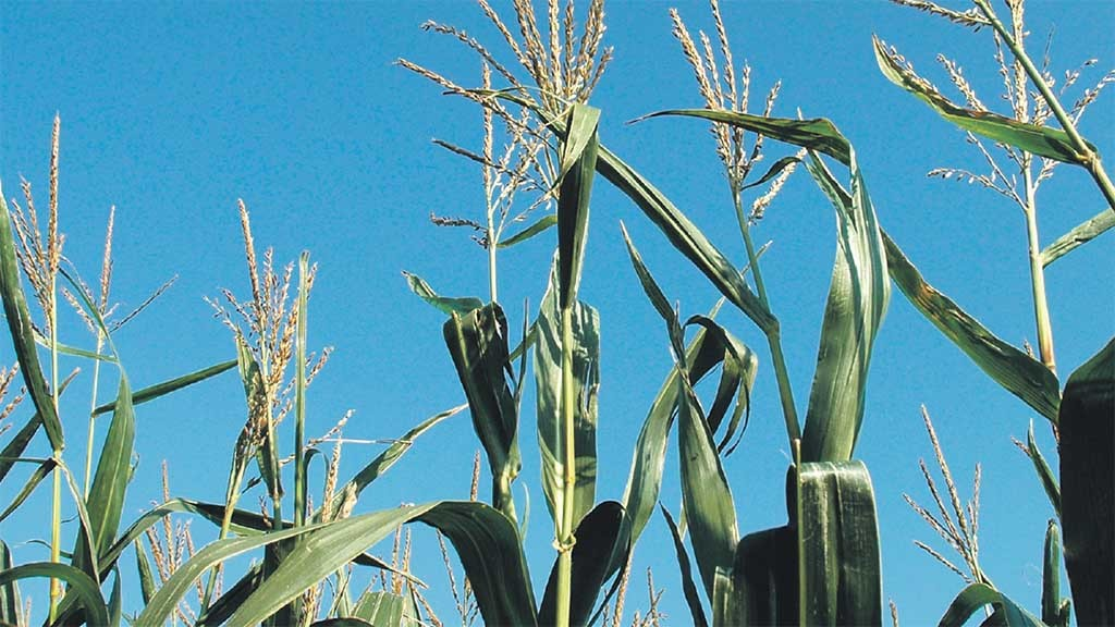 Potential issues with this year's maize harvest