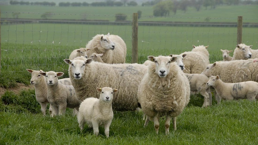 Paul Baker found two of his sheep with bullet wounds early on Monday morning (November 9)