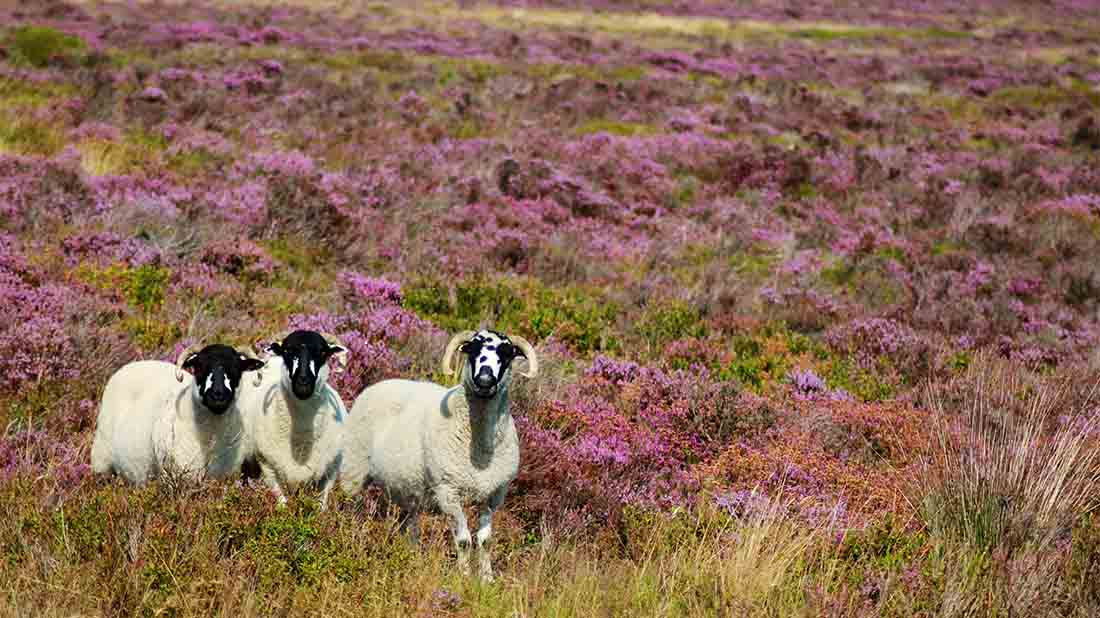 Glorious Twelfth owes a lot to role of sheep in the uplands