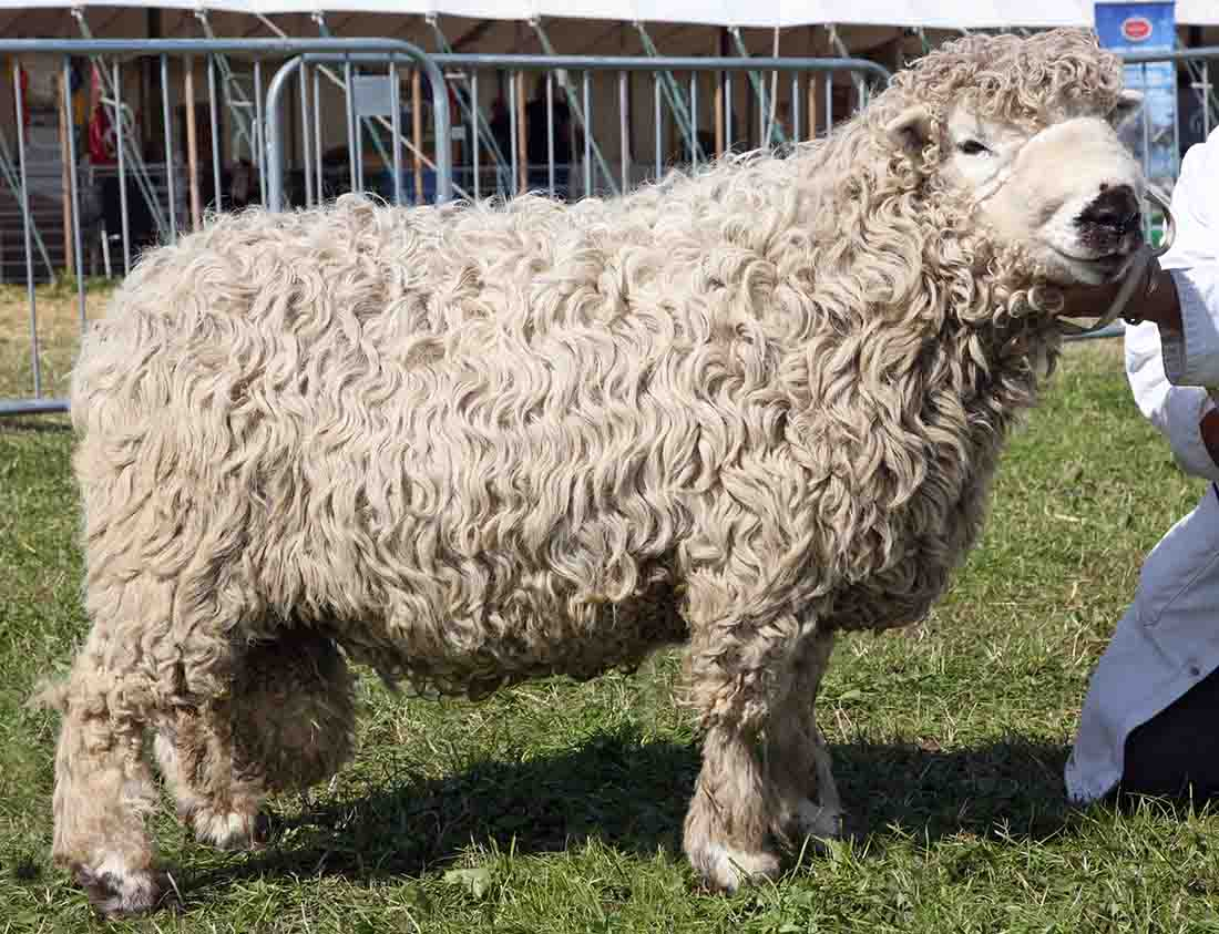 Reserve inter-breed sheep and Grayface Dartmoor champion from Christine Nugent