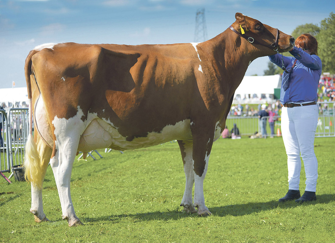 Reserve inter-breed dairy and Ayrshire champion, Halmyre Urr Ladybird 455