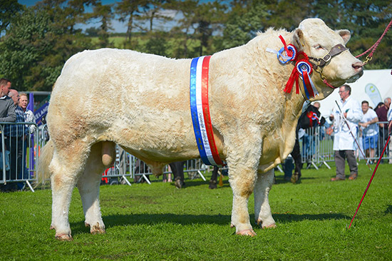 Reserve inter-breed and Charolais champion, Crookdale Jester