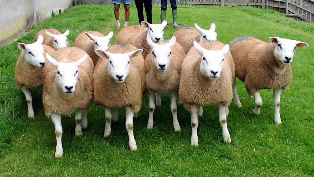 Farmer offers reward after Texel sheep theft