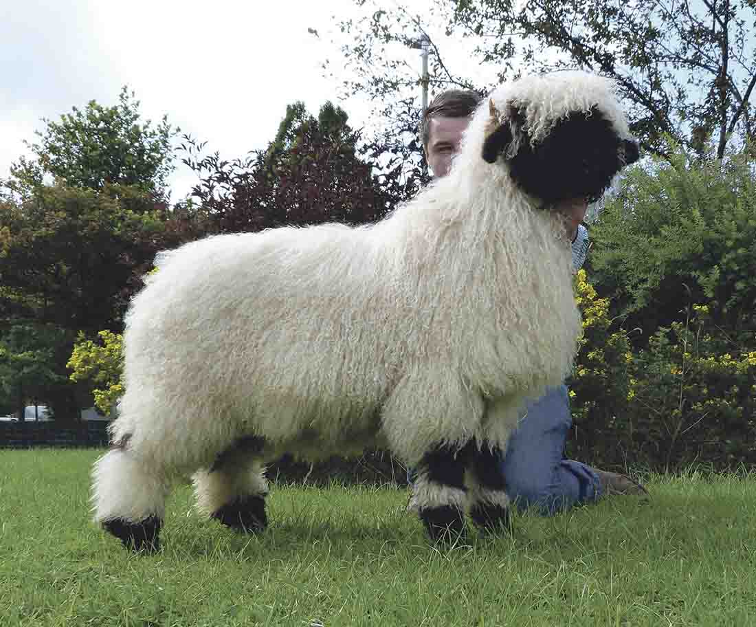 Valais Blacknose ewe lamb from Alastair Jackson, Annan, Dumfries, which sold for £3,800