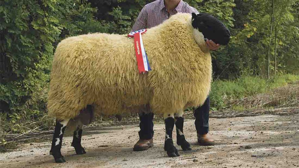 Fears over future of IBERS performance recorded flock
