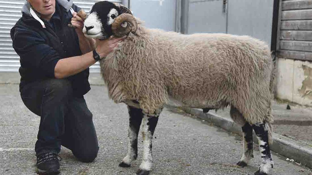 Top of 1,500gns for Skipton Swaledale tups