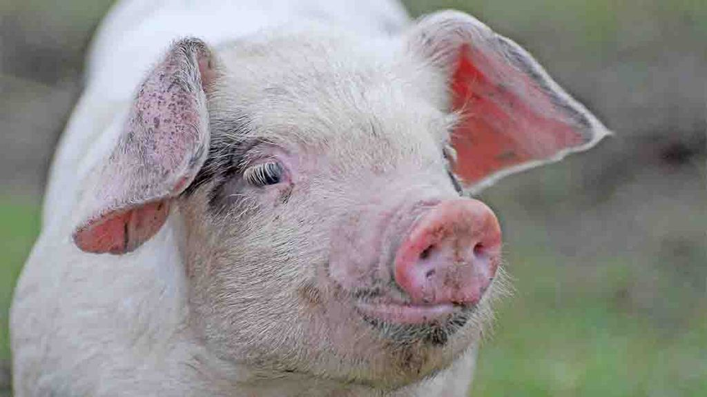 Pig industry seeks supply chain help in response to price crisis