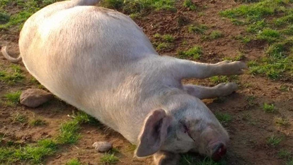 The pigs were shot on Saturday evening
