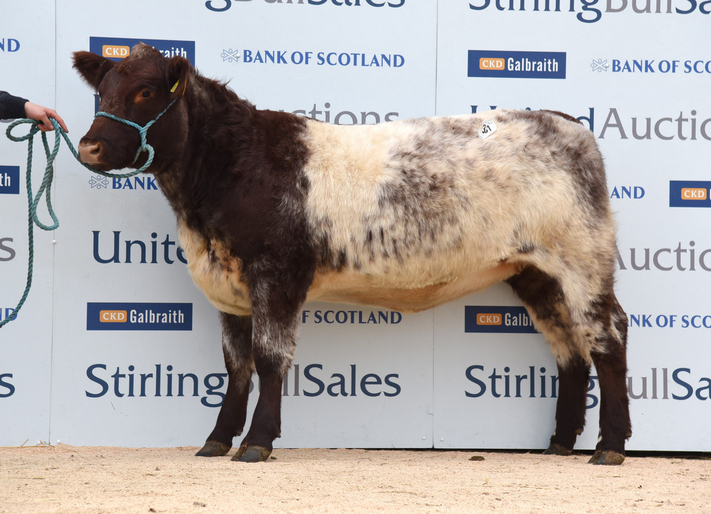 Stirling 2015: Strong trade for Beef Shorthorn females sees top of 7,200gns