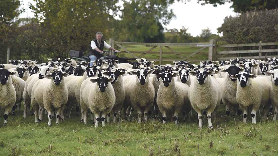The Evans family sell their Derbyshire Gritstone ewes as shearlings and males as wether stores
