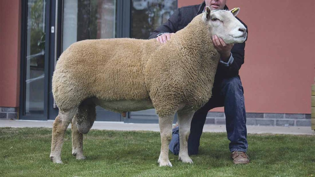 7,000gns top at Aberkinsey Charollais dispersal