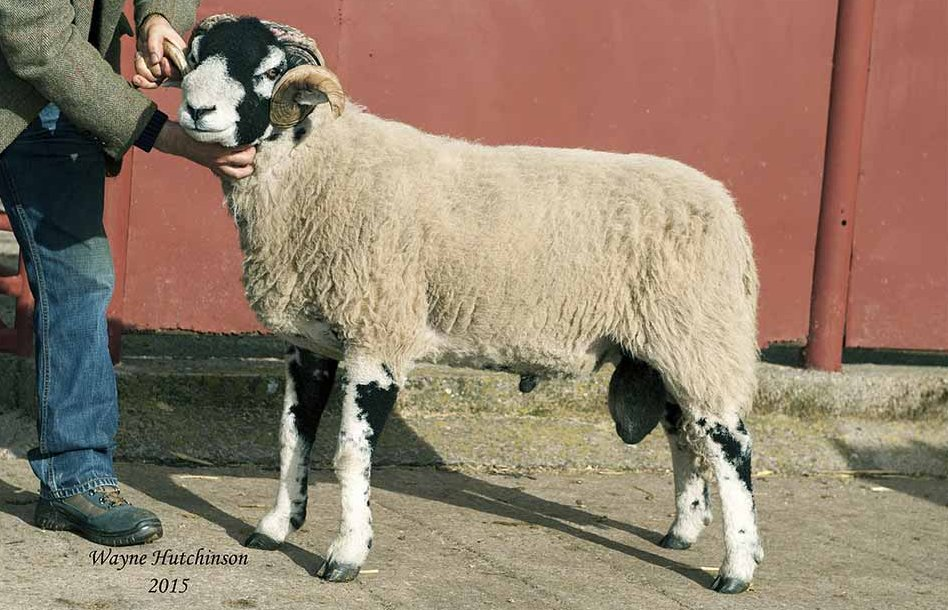 Kirkby Stephen Swaledale shearling tups to £42,000