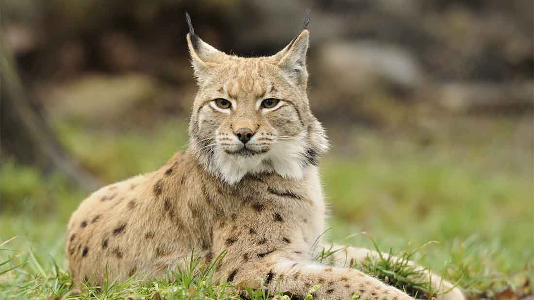 Kielder and Borders identified as preferred area for lynx reintroduction trial