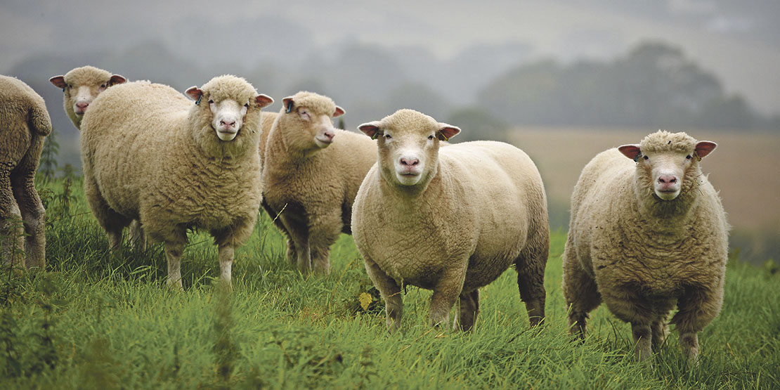 Lamb prices continue New Year surge