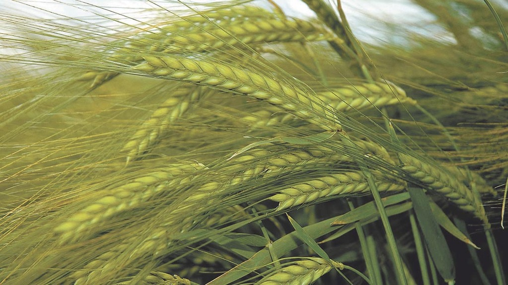 Scottish barley are among those most affected by the three-crop rule