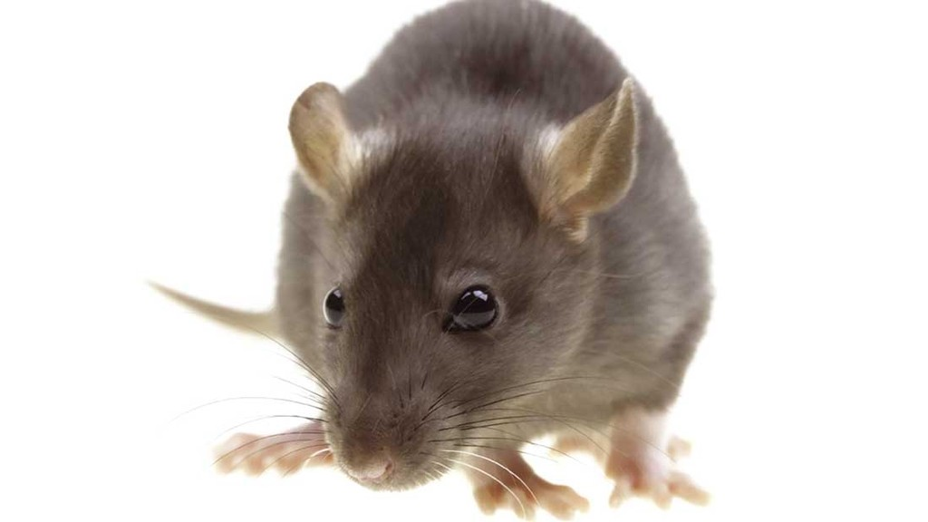 Control rats in spring or risk an autumn infestation