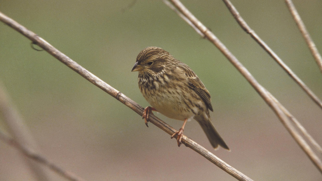 Farmers help increase numbers of Corn Bunting