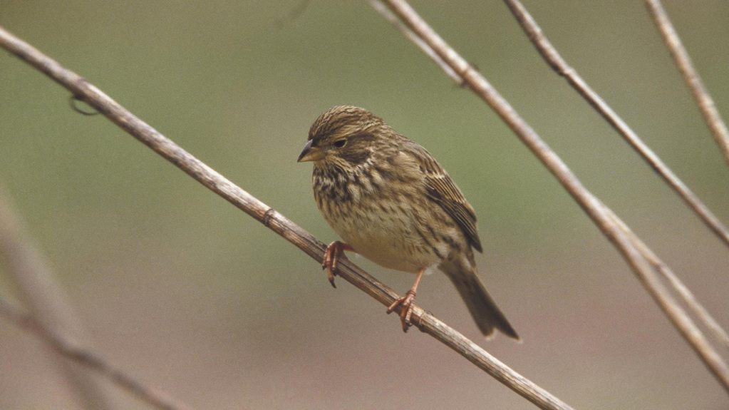Corn bunting numbers stabilise in the North East of Scotland