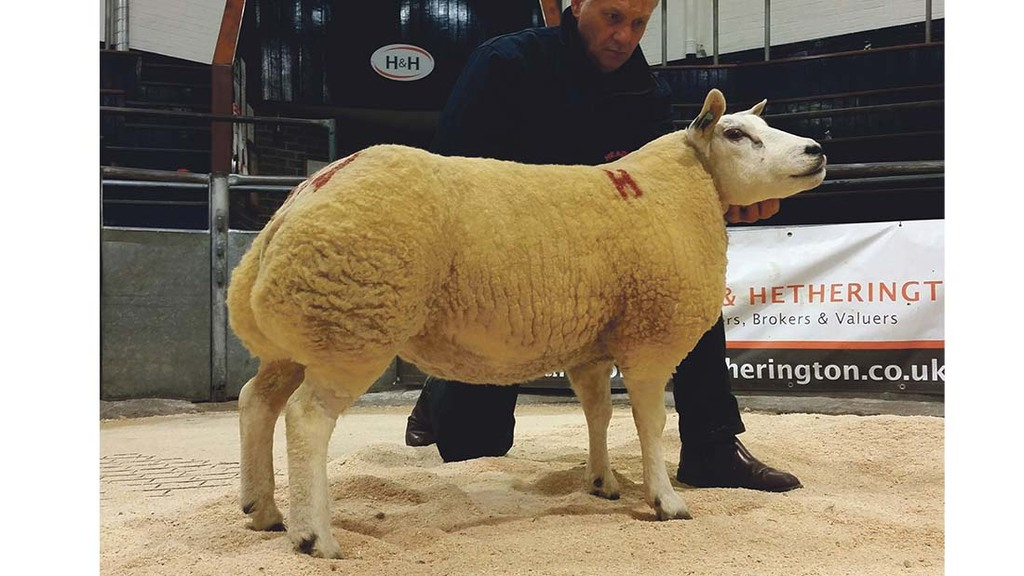Beltex shearlings sell to 2,500gns