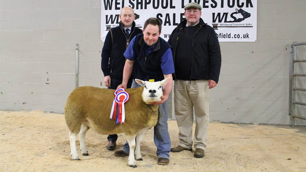 Shropshire and Borders Texels sell to 4,300gns