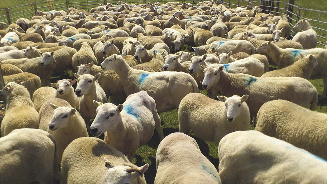 Performance recording brings big benefits to Welsh flock