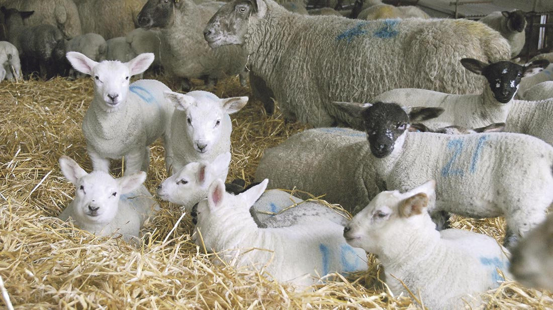 Handy hints: On-farm post-mortems could help reduce lamb losses