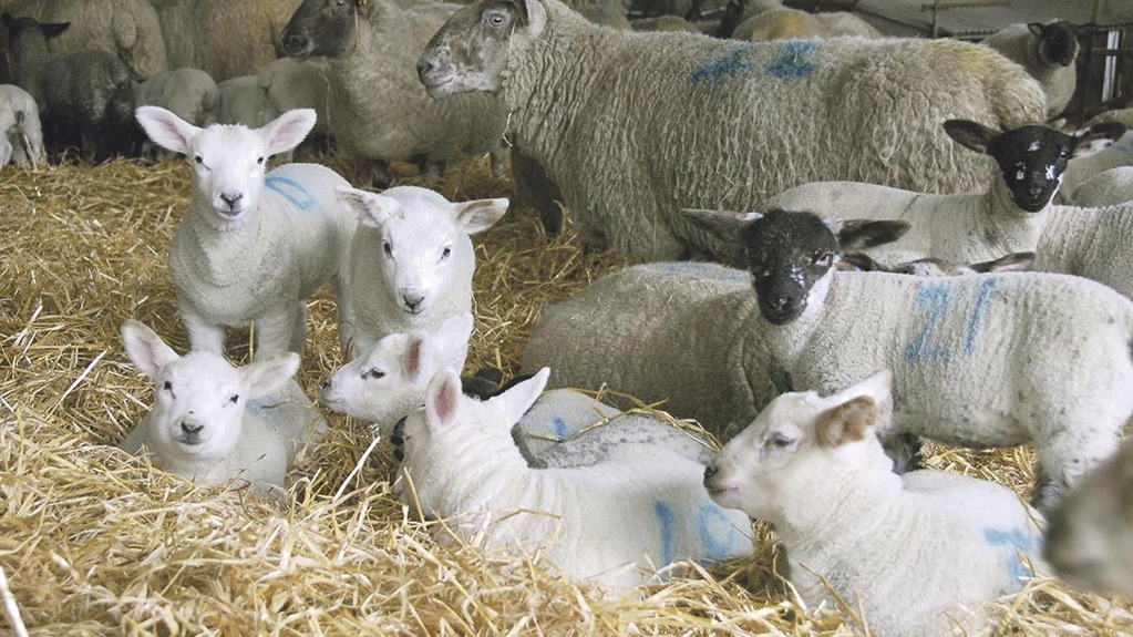 Lambing kit essentials: What farmers need to be prepared for lambing season
