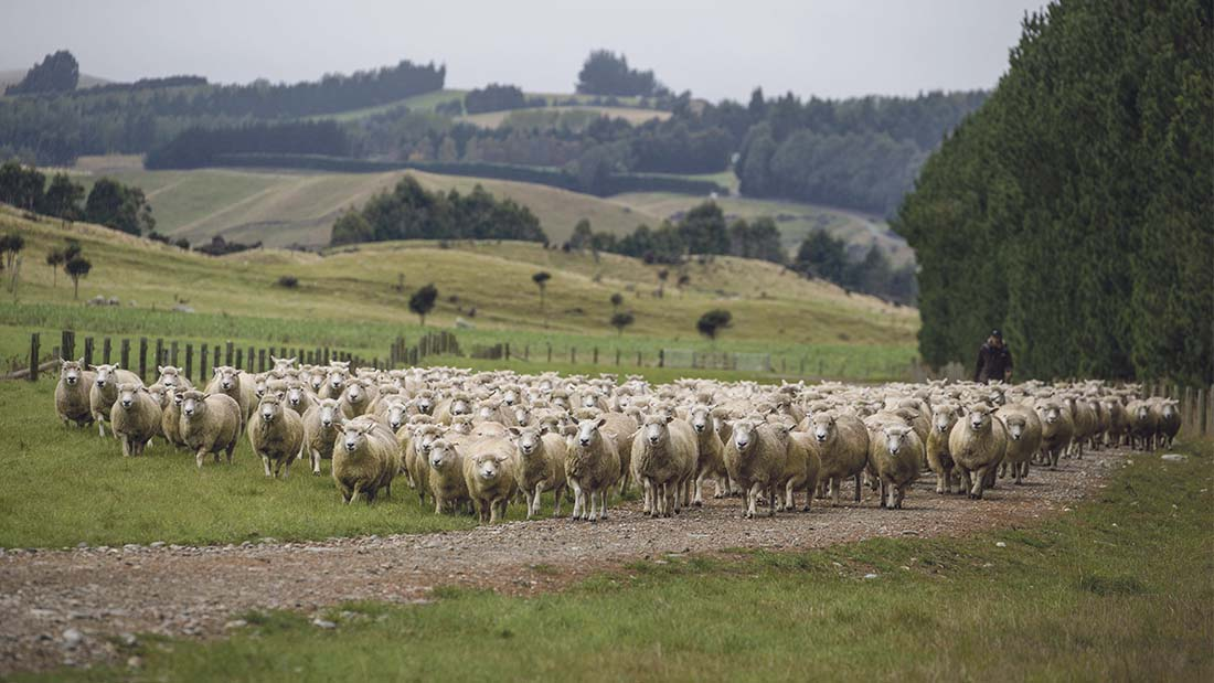 Image result for images of New Zealand farming sheep